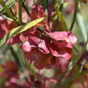 Dodonaea viscosa ssp. Angustissima