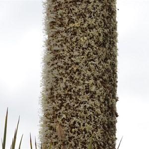 Xanthorrhoea semiplana ssp tateana