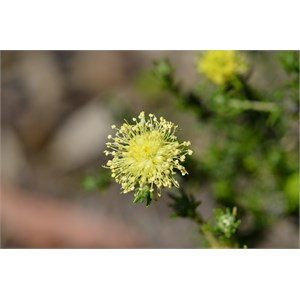 Microcybe pauciflora