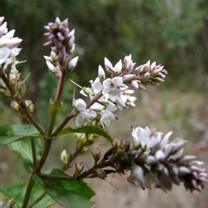 Veronica derwentiana, Brindabella Ranges, NSW/ACT.
