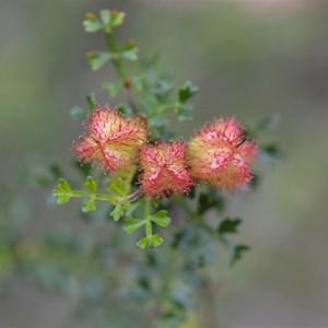 Dodonaea humilis - Female Flower