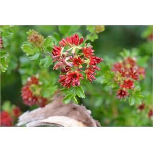 Dodonaea humilis - Male Flower
