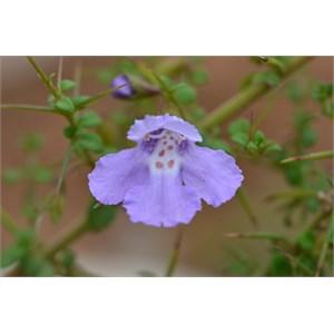 Prostanthera spinosa