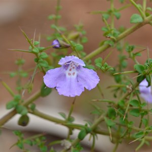 Prostanthera spinosa