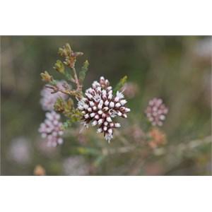 Darwinia micropetala