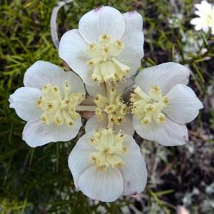 Lesueur Southern Cross - Xanthosia tomentosa