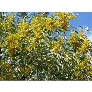 Velvet Wattle, Acacia pubifolia