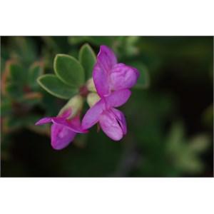 Lotus australis