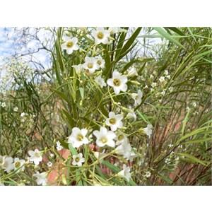 Duboisia hopwoodii. Pituri flowers