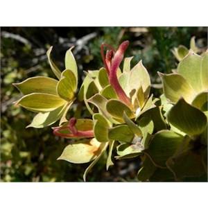 Adenanthos venosus near Hopetoun WA
