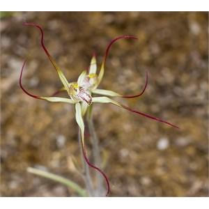 Coastal Spider Orchid