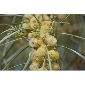 Acacia stenophylla
