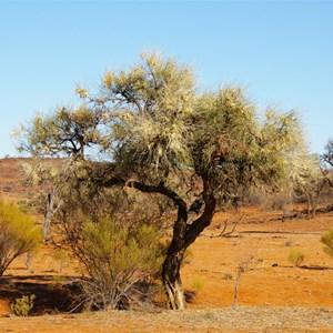 Hakea chordophylla