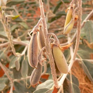 Seed pods of Crotalaria cunninghamii