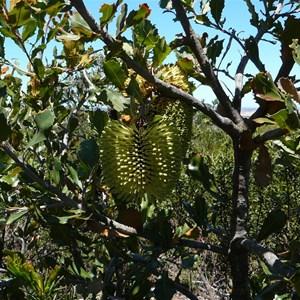 Cayley's Banksia - Banksia caleyi.