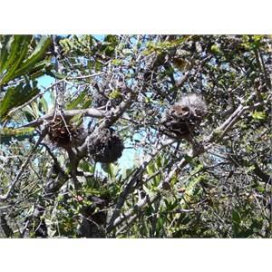 Tennis Ball Banksia - Banksia laevigata.