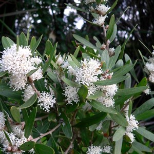Hakea marginata, Peaceful Bay, WA