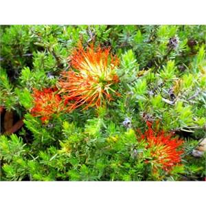 Beaufortia macrostemon