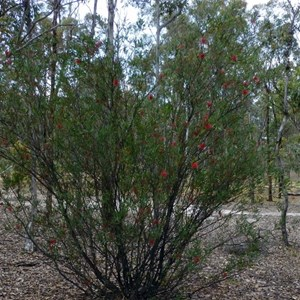 Lesser Bottlebrush - Callistemon phoeniceus.
