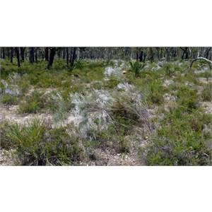 Common Smokebush - Conospermum stoechadis.