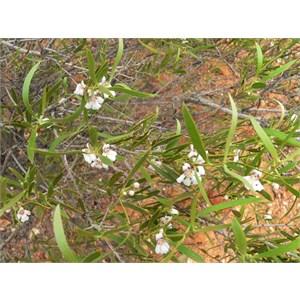 Hemigenia pachyphylla, SE of Gascoyne Junction, WA 2009