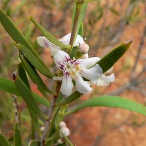 Hemigenia pachyphylla near Gascoyne Junction, WA 2009