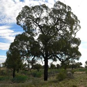 Desert Oak. Allocasuarina decaisneana.