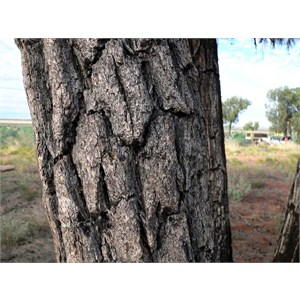 Thick rough bark of desert oak
