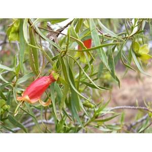 Eremophila duttonii, roadside near Tibooburra NSW