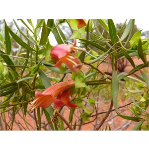 Eremophila duttonii, roadside near Louth NSW