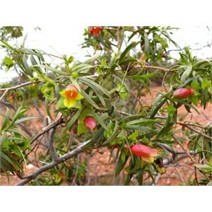 Eremophila duttonii, roadside near Louth NSW