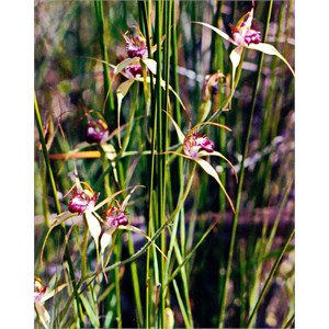 Swamp Spider Orchid