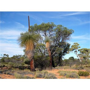 Grass Tree - Xanthorrhoea thorntonii.  The Sentinels - Queen Victoria Springs.  GVD, WA