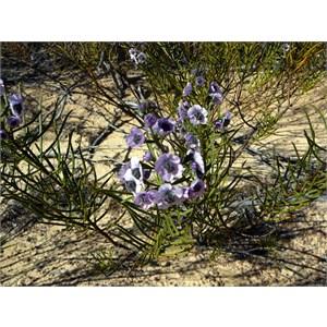 Tinsel-flower - Cyanostegia angustifolia