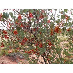 Holly-leafed Grevillea