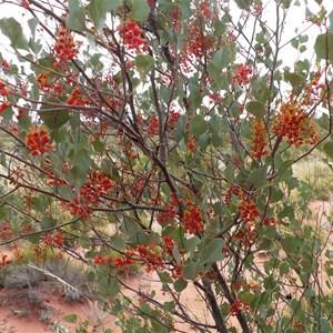 Holly-leafed Grevillea