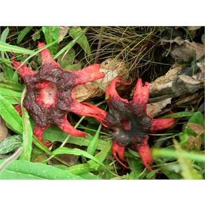 Starfish Fungus, Brindabella Ranges, NSW/ACT