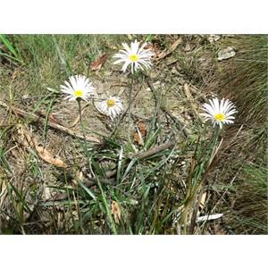 Celmisia longifolia, Brindabella Ranges, NSW/ACT 2014