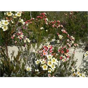 Chamelaucium axillare, Cape Arid NP, WA