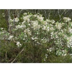 Olearia megalophylla, Brindabella Ranges ACT/NSW 2014