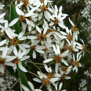 Olearia megalophylla, Brindabella Ranges ACT/NSW 2014