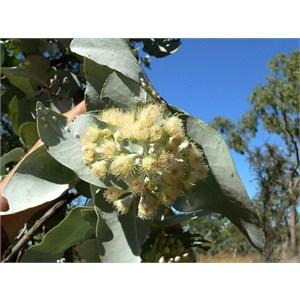 Eucalyptus pruinosa, Gregory NP, NT 2008
