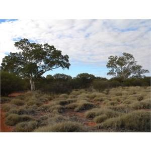 Eucalyptus/Corymbia aspera, Well 31 CSR, WA