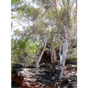 Eucalyptus/Corymbia aspera, Well 38 CSR, WA