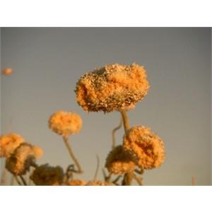 Simpson Desert Daisy