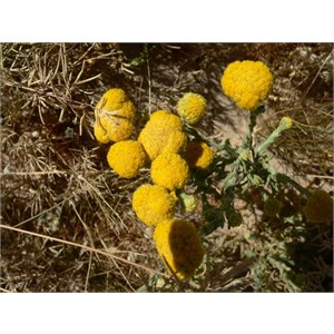 Yellow Billybuttons, Eyre Creek, Simpson Desert.