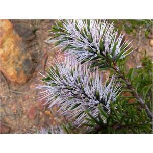 Hakea lehmanniana, Stirling Ranges NP, WA 2009