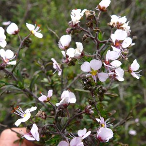Diplopeltis huegelii along roadside near Mullewa, WA
