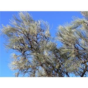 Hakea lorea subsp. lorea, near Laverton, WA
