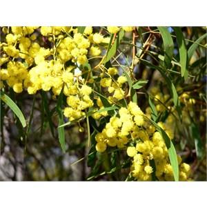 Golden Wattle, Acacia pycnantha